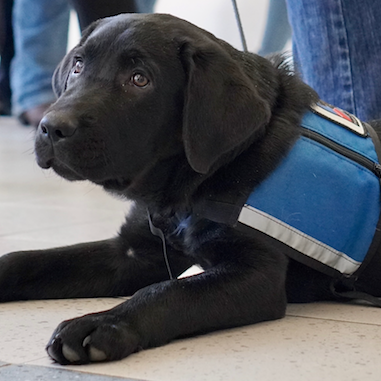 a service dog in training puppy looking up